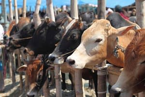 cow-slaughter_574572233cb00